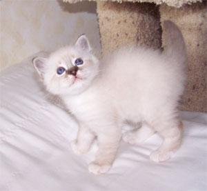 Birman Kittens For Sale Nj as 8th best Birman Kitten